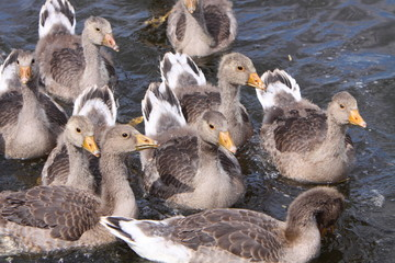 greylag goose goslings