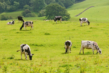 Friesian Cows grazing