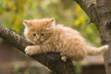 Ein Norweger-Kätzchen probiert sich im Klettern