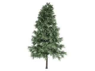 Pine_(Pinus_sylvestris)