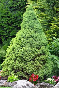 Zuckerhutfichte, Picea glauca Conica
