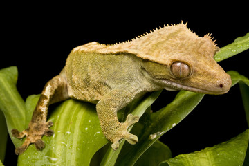 New Caledonian Gecko