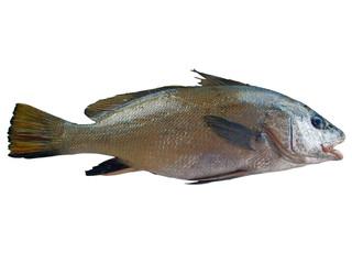 Maigre Fish