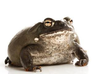 Colorado Bullfrog