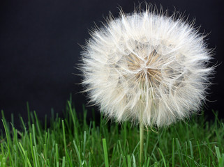Large dandelion on a black horizontal background