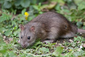 Wild Brown Rat