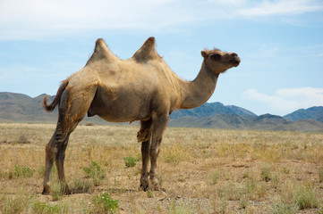 Camel at the mountain landscape
