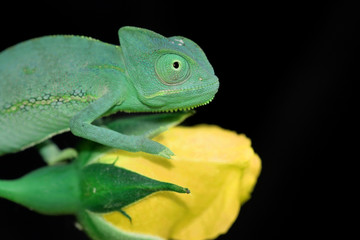 chameleon and yellow rose