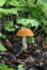 orange cap boletus