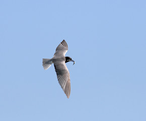 Seagull in wide-winged flight against a clear blue sky
