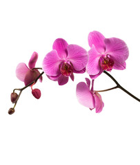 Canvas Prints Orchid Pink orchid branch isolated on white