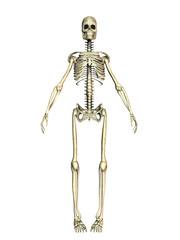 Ein menschliches Skelett