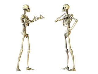 Zwei menschliche Skelette