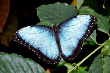 The Gorgeous Morpho