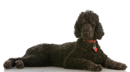 black standard poodle - six years old - isolated on white