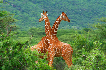 Photo on textile frame South Africa Fight of two giraffes