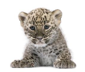 In de dag Luipaard Persian leopard Cub (6 weeks)