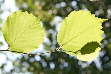 Photosynthese - Haselzweig im Gegenlicht