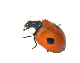 ladybird with two points