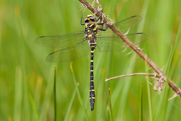 Dragonfly - Golden Ringed