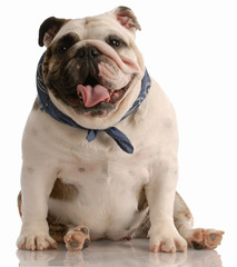 adorable happy english bulldog with scarf sitting