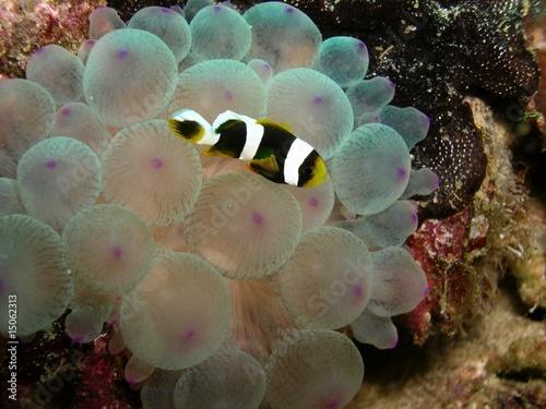 Pesce pagliaccio oman immagini e fotografie royalty free for Pesce pagliaccio foto