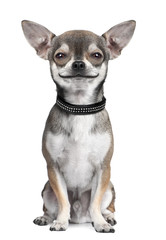 dog ( chihuahua ) looking at the camera, smiling