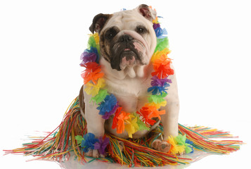 english bulldog dressed up as a hula dancer