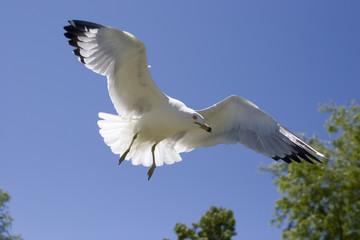 A seagull glides through the air close to the ground.