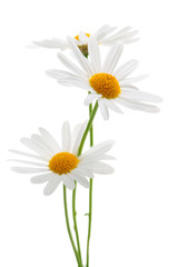 In de dag Madeliefjes Daisies on white background