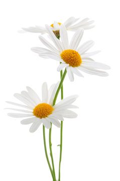 Daisies on white background