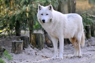 Gros plan d'un loup blanc d'arctique