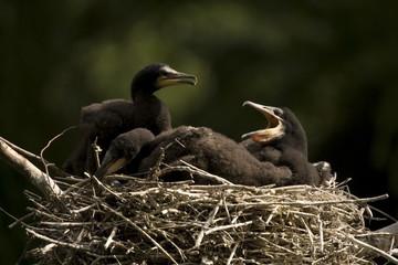 Kormoranküken im Nest