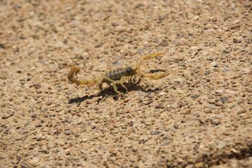 Desert Striped Scorpion
