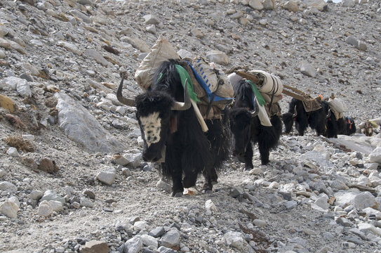 A flock of yaks with loads at Mt Everest Base Camp