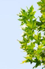 chinar leaf