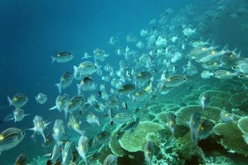 Fischschwarm - Malediven - Shoal - Maldives