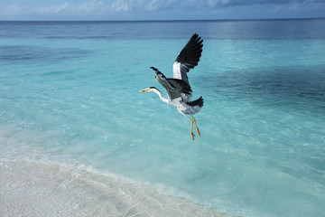 Graureiher - Malediven - Grey heron - Maldives