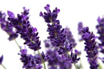 macro view of lavender