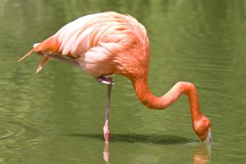 flamingo eating