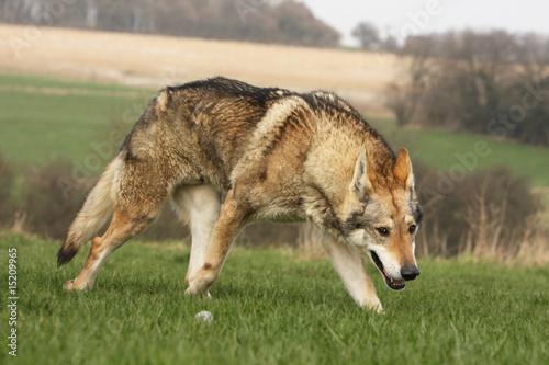 chien loup tch que marchant comme un loup menace photo libre de droits sur la banque d. Black Bedroom Furniture Sets. Home Design Ideas