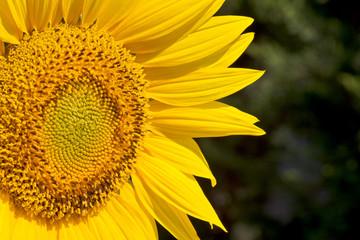 sunflower closeup against a garden background