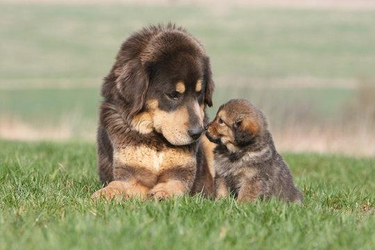 adulte et petit dogue du tibet couché nez à nez dans l'herbe