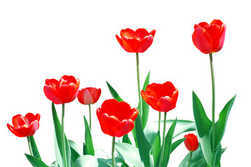 Tulips Frame Template Isolated on White Background