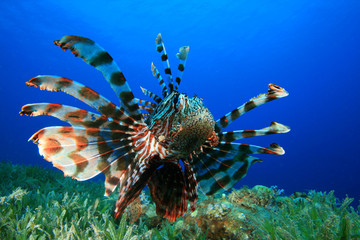 Lionfish (Pterois miles) hunting over seagrass