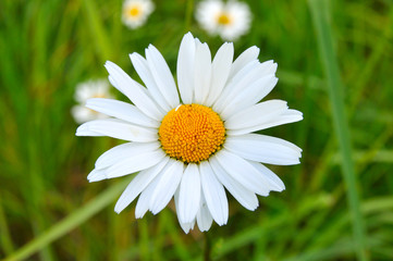 Greater a camomile
