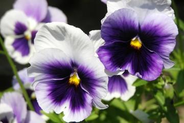 Poster Pansies Purple Pansies