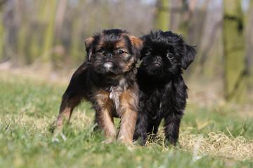 couple de chiot griffon belge debout côte à côte dans l'herbe