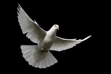 White dove isolated on black.