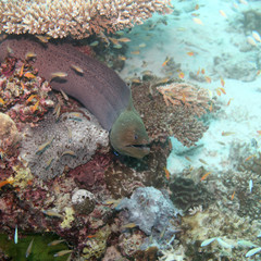 Muräne - Malediven - Moray eel - Maldives